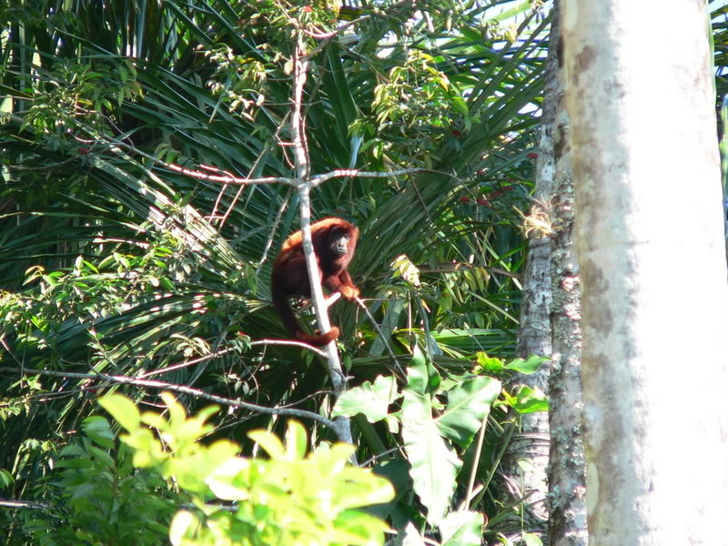Red howler monkey high up in the trees of the jungle.