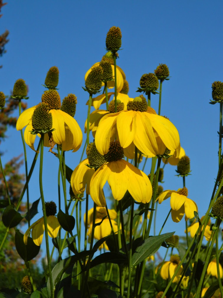 Yellow coneflower Ratibida pinnata by garden muses-not another Toronto gardening blog