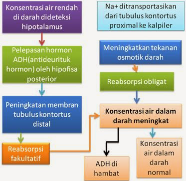 hormon ADH