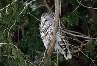 البومة المخططة Barred Owl