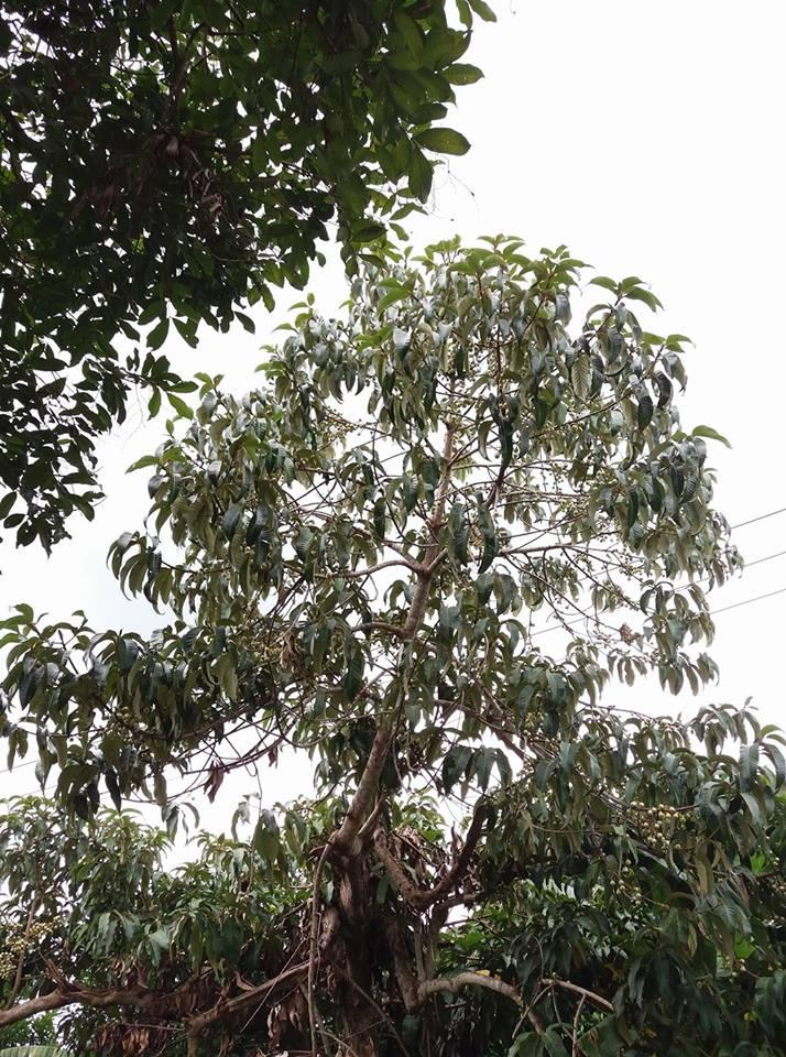 pohon buah kalangkala