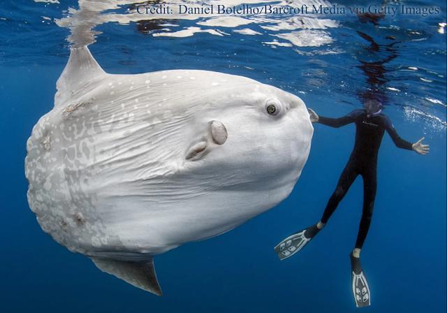 Sisi Unik Ikan Mola (Sunfish)