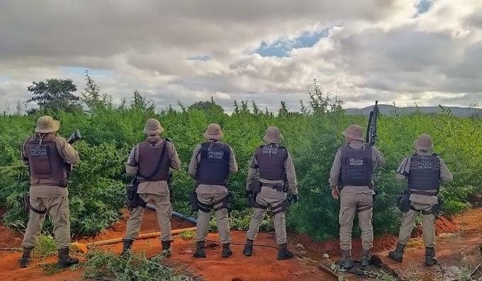 Polícia Militar erradica 200 mil pés de maconha em Mirangaba