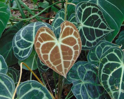 Anthurium Clarivervium