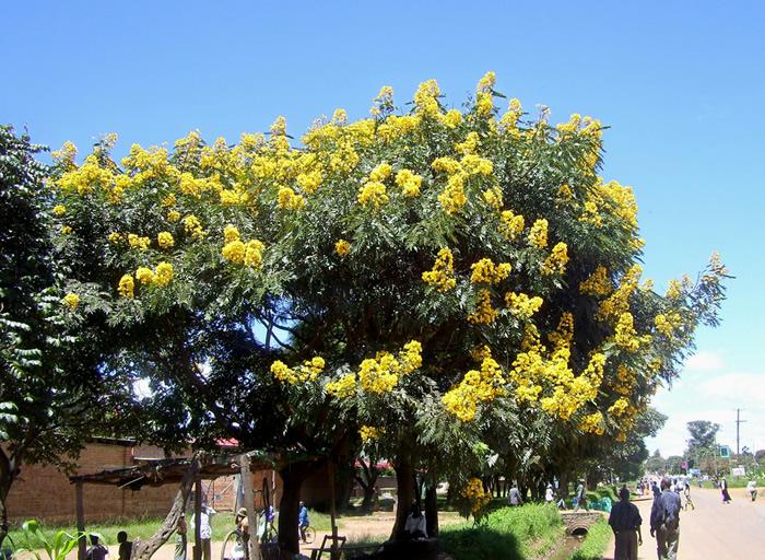 Senna spectibilis tree in Sumbawanga, Tanzania