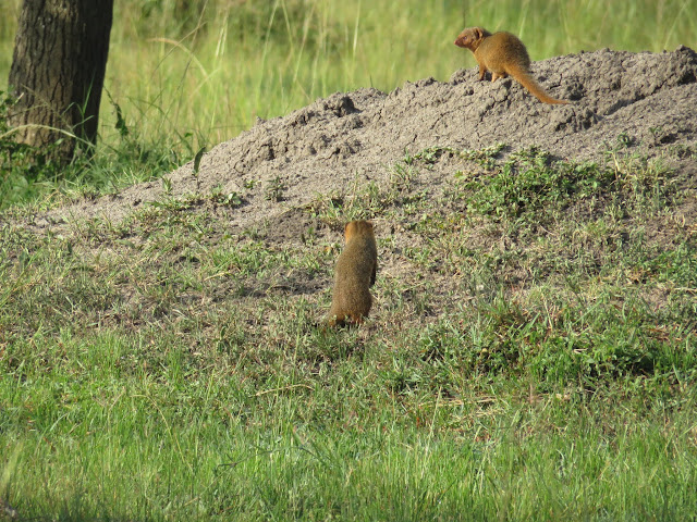 Mongoose on a walking safari in Lake Mburo National Park in Uganda