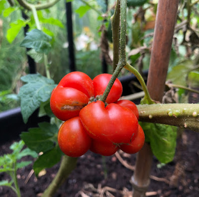 Ripe bulbous tomato on the vine