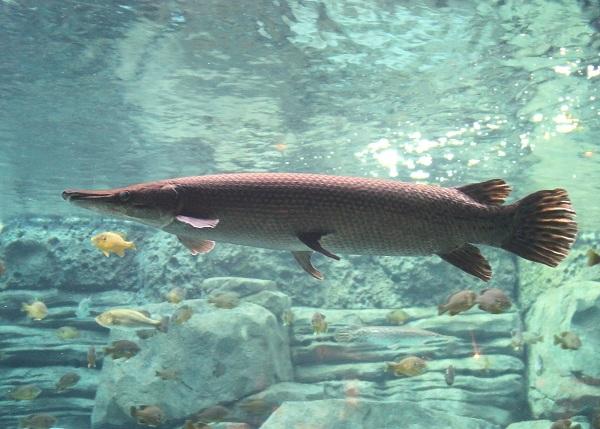 Alligator Gar được mệnh danh là hóa thạch sống của trái đất