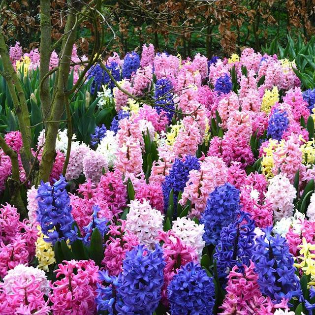 Mixed Color Hyacinth