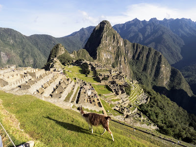 Pictures of Machu Picchu: Llama mowing the lawn with the iconic city of Machu Picchu in the distance