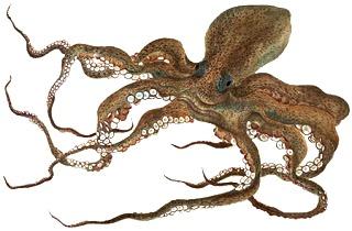 Foto de pulpo con grandes tentáculos