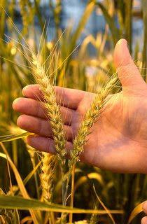 O trigo da minha Eira
