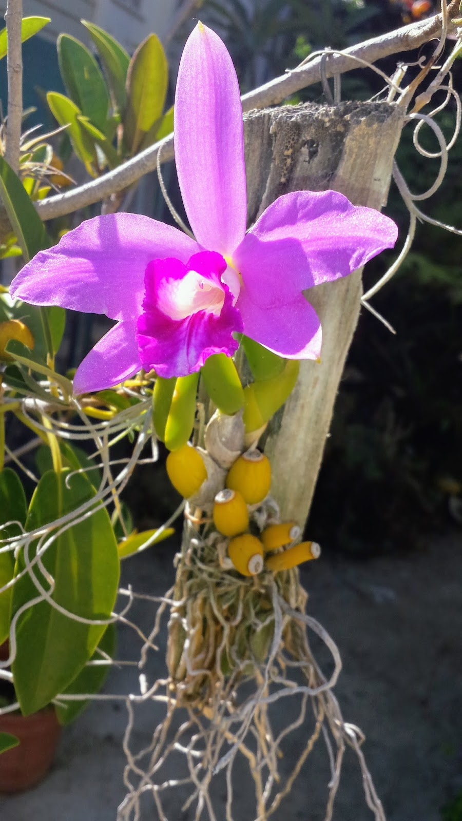 In bright light this orchid will have roundish pseudobulbs and short  succulent leaves. I refer to these type of orchids as teapot orchids (short  and stout).