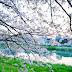 過ぎゆく春と桜 @紫川