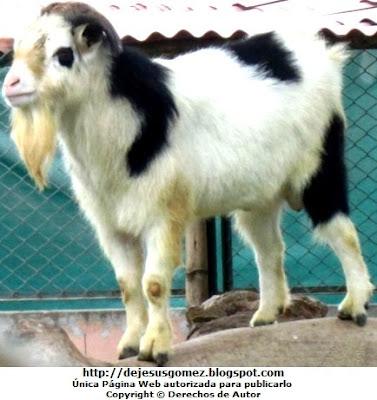 Foto de Cabra Alpina del Parque de las Leyendas. Foto de cabra alpina tomada por Jesus Gómez