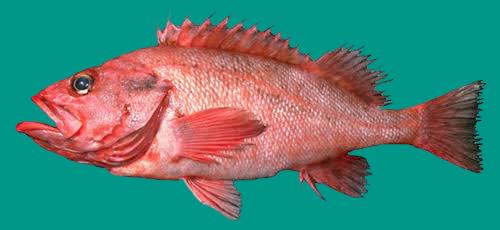Rough Eye Rockfish