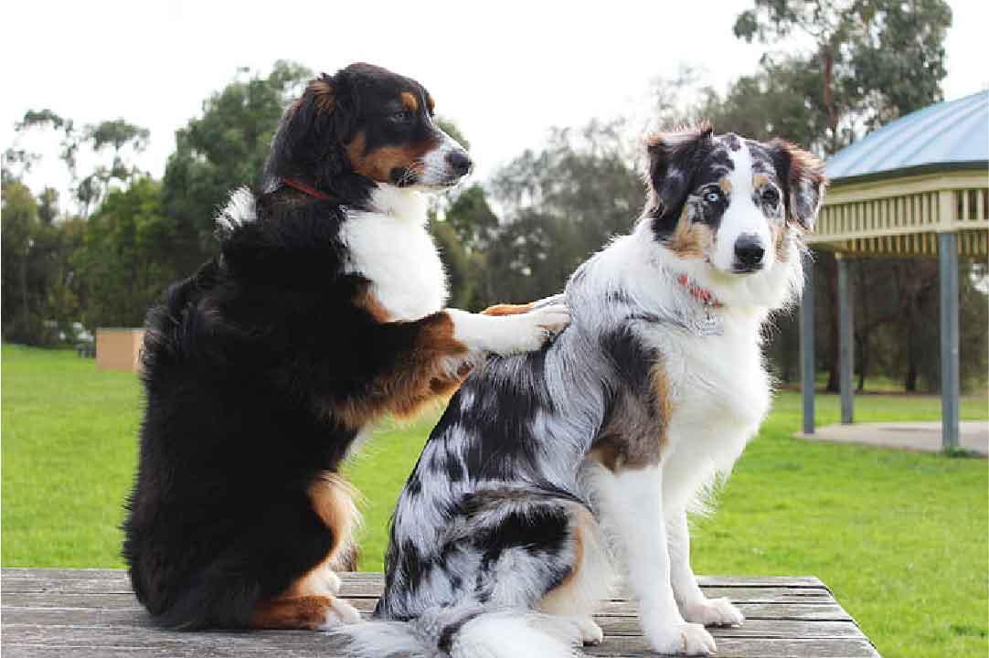 caudectomie; couper la queue du chien