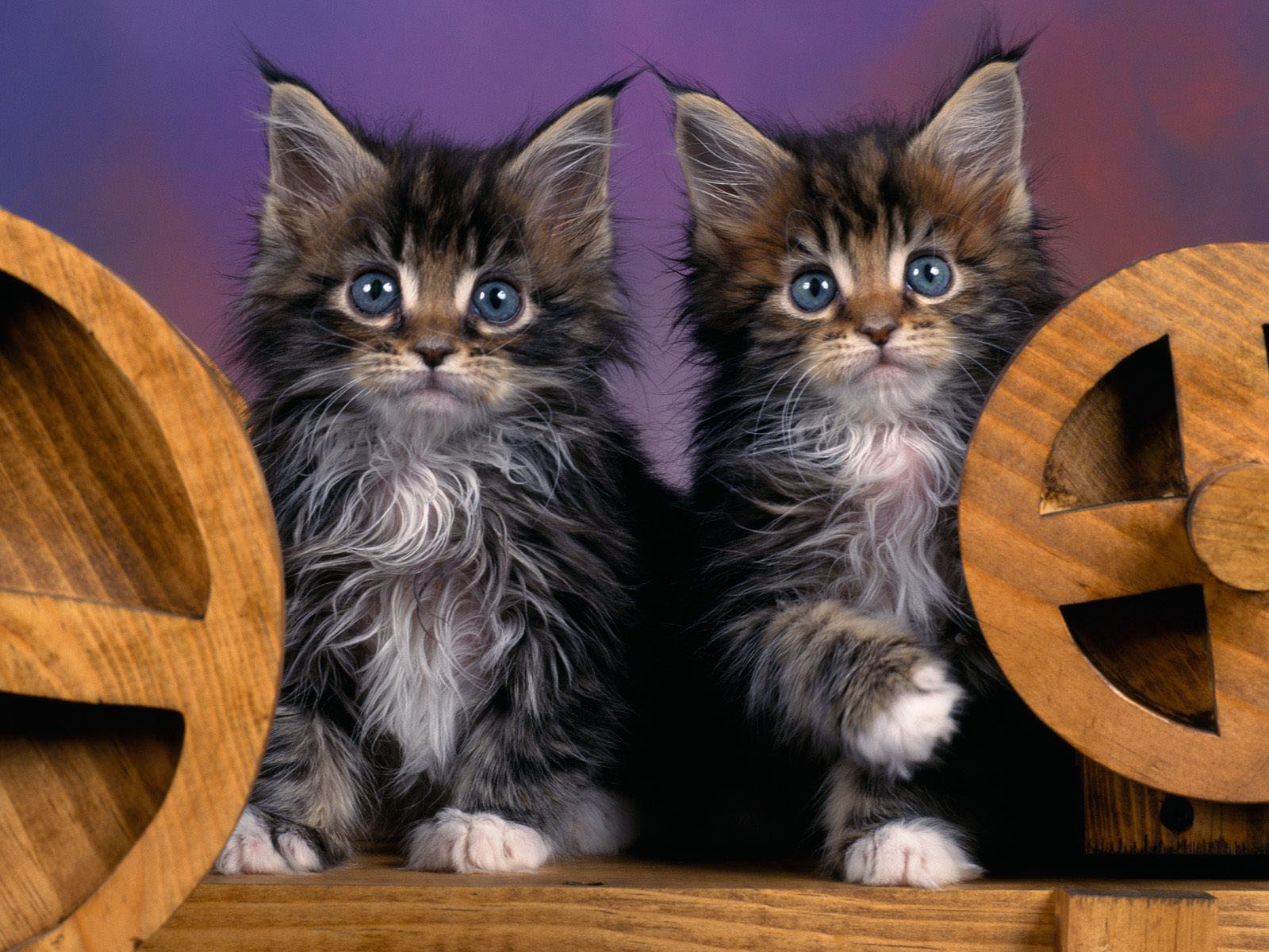 wallpapers maine coon kittens. Black Bedroom Furniture Sets. Home Design Ideas
