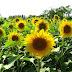 Taman Bunga Matahari Samas Bantul - Spot Foto Yang Keren