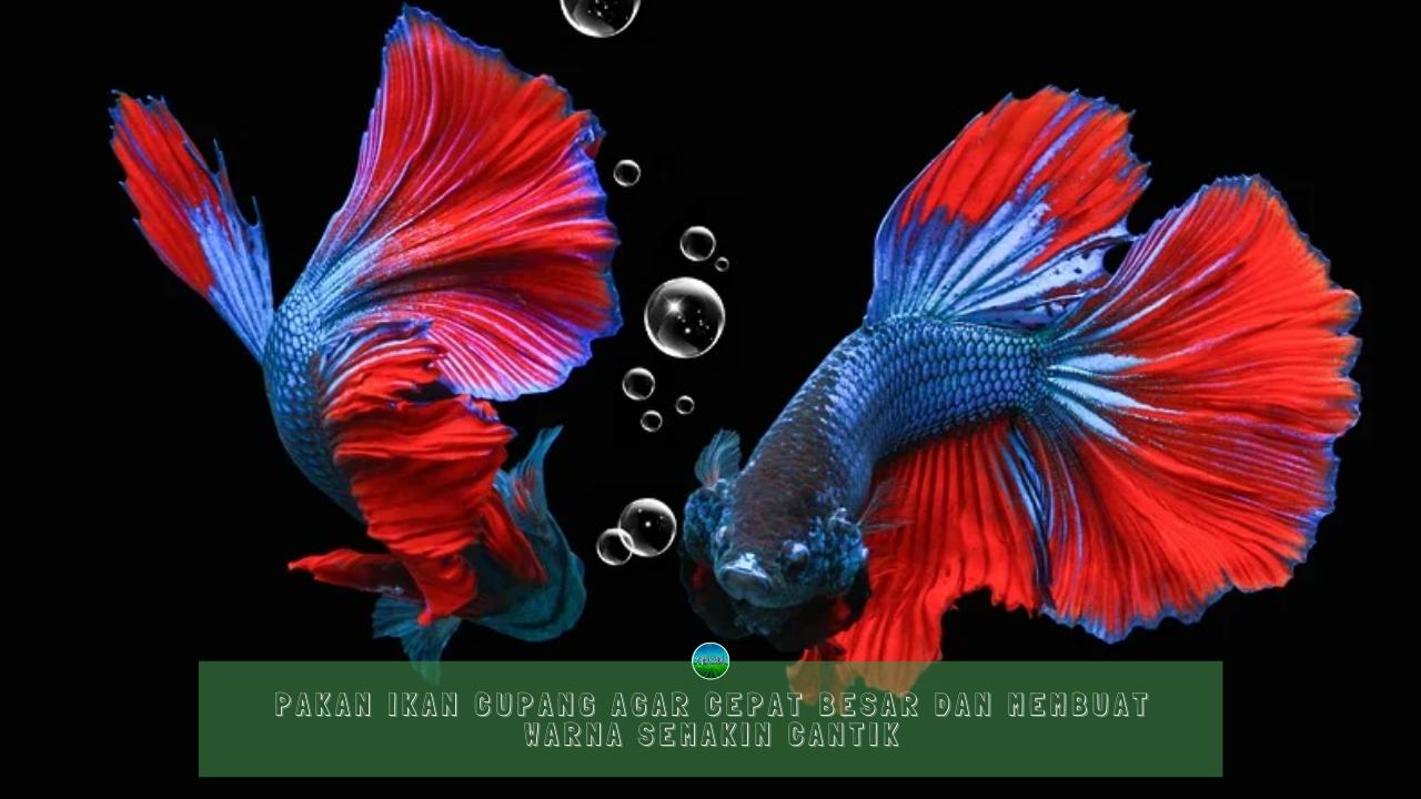 Pakan Ikan Cupang Agar Cepat Besar dan Membuat Warna Semakin Cantik