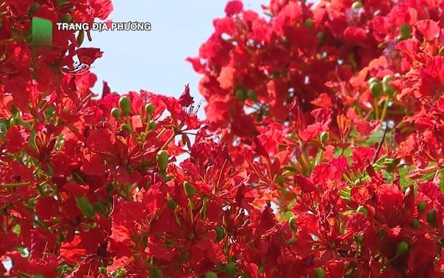 Cây hoa phượng đỏ tại Sa Đéc
