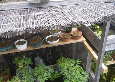 ミニ盆栽 水切れ