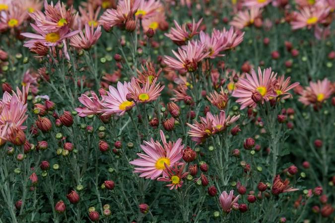 "Crisantemos en Longwood Gardens. Chrysanthemum 'Hillside Sheffield"""