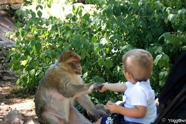 Alla Foret de Singes è possibile dare alle scimmie dei popcorn