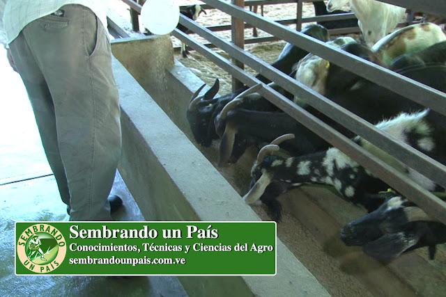 alimentando cabras
