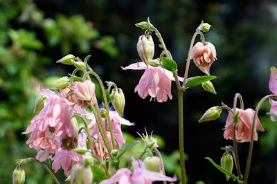 plants, flowers, aquilagia,