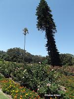 Cook pine leaning towards Equator - Royal Botanic Gardens, Sydney, Australia
