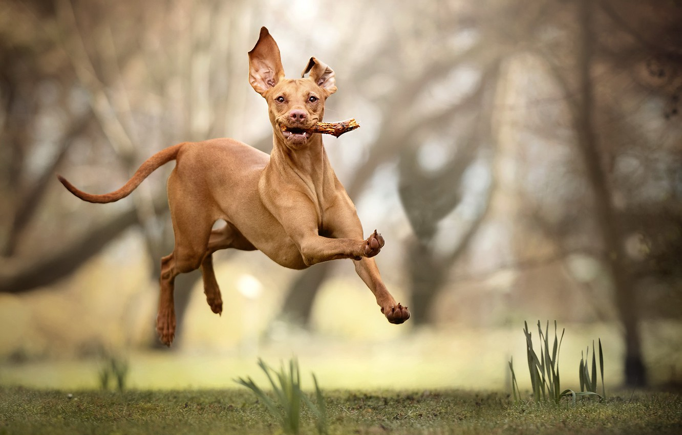 Pharaoh Hound with all our four paws in the air and branch in his mouth
