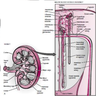 Struktur anatomi ginjal Menurut Koeppen