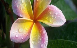 Gambar Bunga Kamboja yang Indah 9