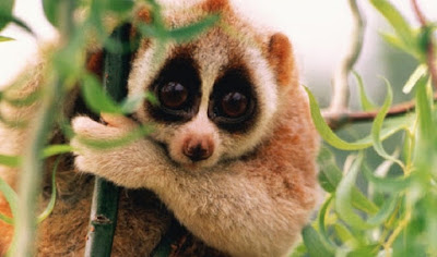 """Devido aos seus olhos grandes e redondos, que são uma adaptação à vida noturna, eles foram popularizados como animais """"fofos"""" em vídeos virais no YouTube. Como animais de estimação, eles geralmente morrem de infecção, perda de sangue, manuseamento improprio ou nutrição inadequada."""