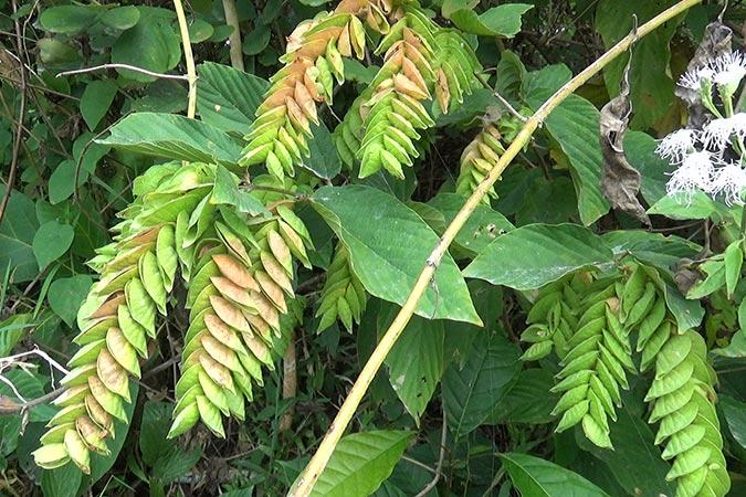 Dlium Wild hops (Flemingia strobilifera)