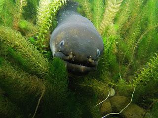 freshwater eels, eels
