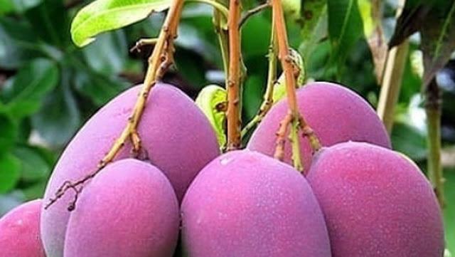 Gambaran buah mangga