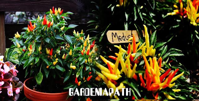 Potted ornamental pepper - Capsicum annuum Medusa