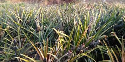 Pesquisa desenvolvida na UEPB comprova viabilidade para exploração do abacaxizeiro pérola no Sertão
