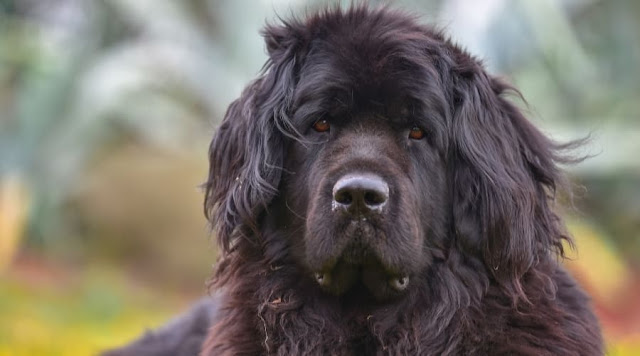 newfoundland rescue dogs available newfoundland rescue newfoundland rescue midwest newfoundland dog rescue near me newfoundlands newfoundland dog training newfoundland puppy training newfoundland groomers near me best toys for newfoundlands newfoundland dog rescue