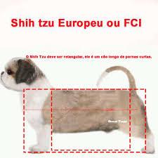 padrão europeu shih tzu