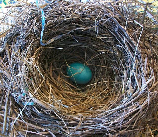 blue eggs in Robin's nest
