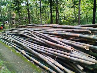 ciri-ciri-bambu-apus.jpg