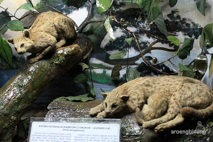 kucing hutan museum zoologi bogor