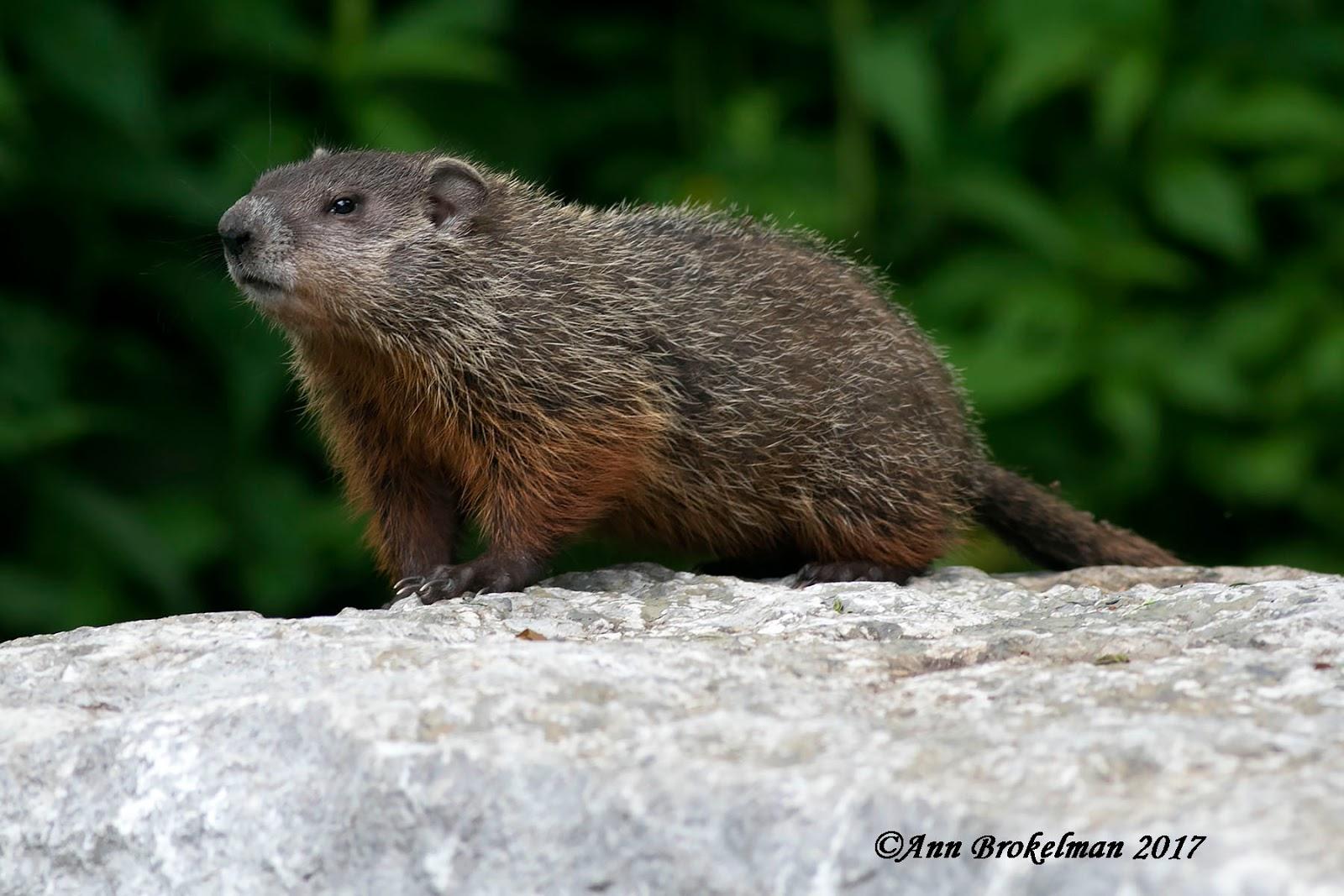 ann brokelman photography groundhog and babies june 2017