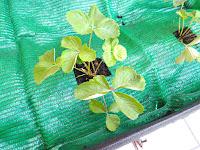 Plantando en la tierra