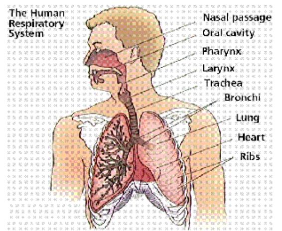 Sistem Respirasi Manusia dan Contoh Gangguan Fungsi Yang Dapat Terjadi Pada Sistem Respirasi Manusia