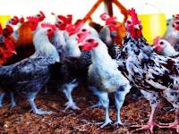 5160 Rumah Tangga Miskin Pertanian di Pangkep Bakal Dapat Bantuan Bibit Ayam Super