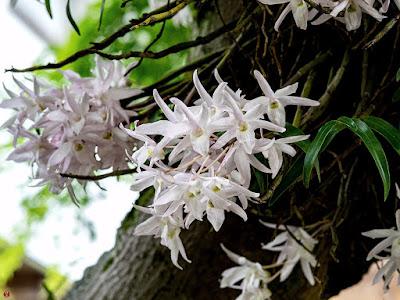 Sekkoku (Dendrobium moniliforme) Flowers: Kaizo-ji